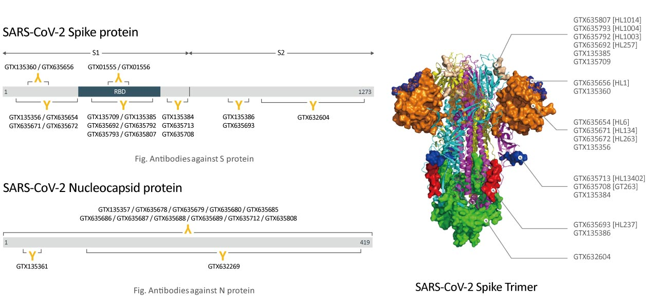 spike protein / Nucleocapsid protein