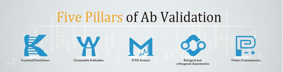 Five Pillars of Antibody Validation