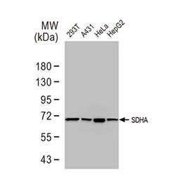 SDHA antibody [GT20710]