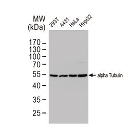 alpha Tubulin antibody [GT114]