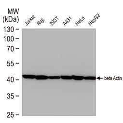 beta Actin antibody [GT5512]