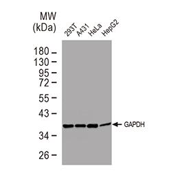 GAPDH antibody [GT239]