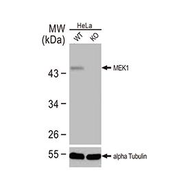 COX4 antibody (GTX114330)