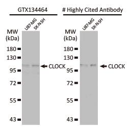 CLOCK antibody (GTX134464)