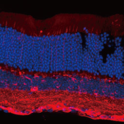 eta Tubulin 3/ Tuj1 antibody [GT11710] (GTX631836)