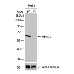 HDAC1 antibody (GTX100513)