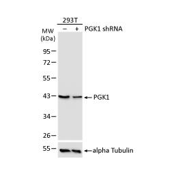 PGK1 antibody (GTX107614)