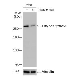 Fatty Acid Synthase antibody [N1], N-term (GTX109833)