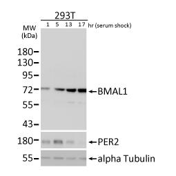 BMAL1 antibody N1N3 (GTX105060)
