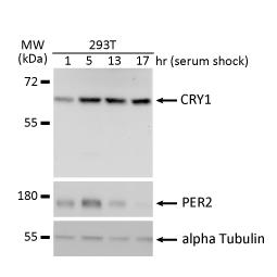 CRY1 antibody (GTX132177)