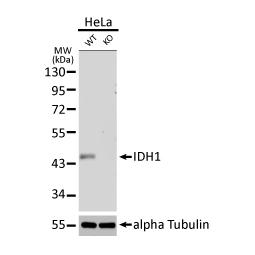 IDH1 antibody [GT1521] (GTX629818)