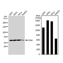 PKM-antibody (GTX107977)