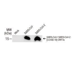 SARS-CoV / SARS-CoV-2 (COVID-19) ORF7a antibody [3C9] (GTX632602)