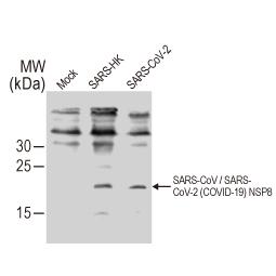 SARS-CoV / SARS-CoV-2 (COVID-19) NSP8 antibody [5A10] (GTX632696)