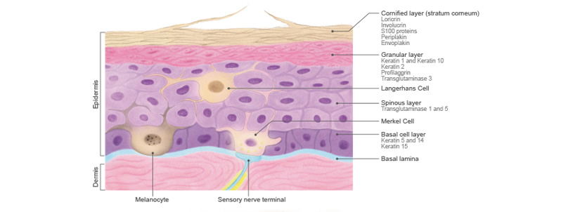 Epidermal Cells