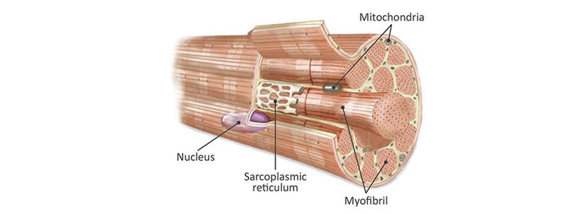Skeletal Muscle Cells