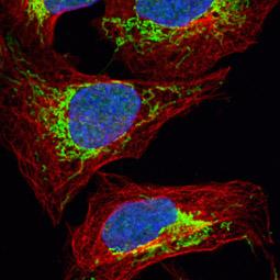 Citrate synthetase antibody [N2C3] (GTX110624)