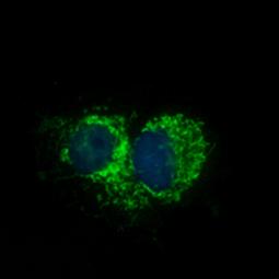 Mitofilin antibody (GTX115523)