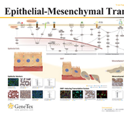 Epithelial-Mesenchymal Transition