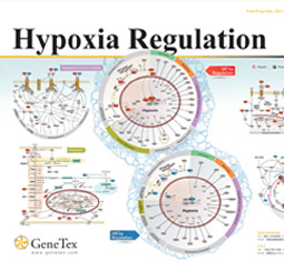 Hypoxia Regulation