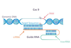 Background of CRISPR/Cas9 technology