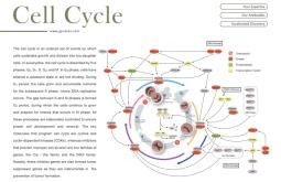 Flyer - Cell Cycle