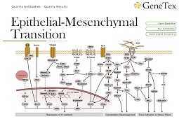 Flyer - Epithelial–Mesenchymal Transition