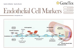 Flyer - Endothelial Cell