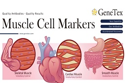 Flyer - Muscle Cell Markers