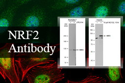 A Well-Cited Nrf2 Antibody for Cellular Redox Research