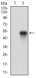 Anti-Syndecan-1 / CD138 antibody [1A3H4] used in Western Blot (WB). GTX00451