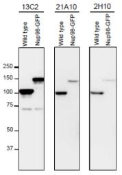Anti-NUP98 antibody [21A10] used in Western Blot (WB). GTX00695