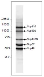 Anti-NUP98 antibody [2H10] used in Western Blot (WB). GTX00697