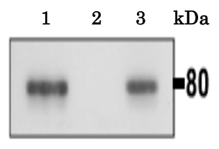 Anti-CLGN antibody used in Immunoprecipitation (IP). GTX00744