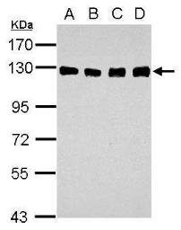 Anti-DDB1 antibody [C3], C-term used in Western Blot (WB). GTX100232