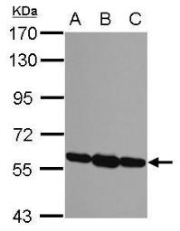 Anti-ERp57 antibody [C3], C-term used in Western Blot (WB). GTX100297