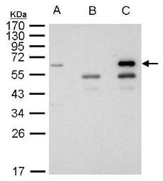 Anti-HDAC1 antibody used in Immunoprecipitation (IP). GTX100513