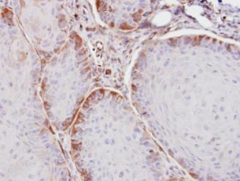Anti-ASS1 antibody used in IHC (Paraffin sections) (IHC-P). GTX101344