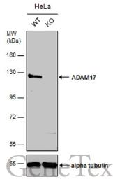 Anti-ADAM17 antibody [C2C3], C-term used in Western Blot (WB). GTX101358