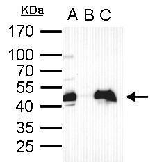Anti-Oct4 antibody used in Immunoprecipitation (IP). GTX101497