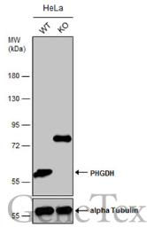 Anti-PHGDH antibody [N3C2], Internal used in Western Blot (WB). GTX101949