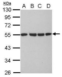 Anti-alpha Tubulin antibody used in Western Blot (WB). GTX102079