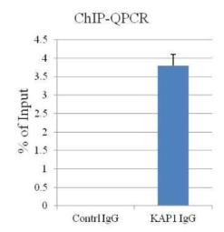 Anti-KAP1 antibody [N3C2], Internal used in ChIP assay (ChIP assay). GTX102226