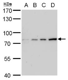 Anti-Grp78 antibody [C2C3], C-term used in Western Blot (WB). GTX102567