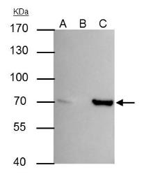 Anti-SHP1 antibody used in Immunoprecipitation (IP). GTX102864