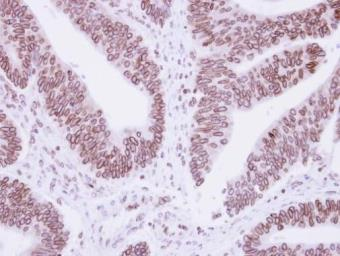 Anti-Lamin B1 antibody used in IHC (Paraffin sections) (IHC-P). GTX103292