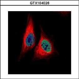 Anti-TEAD4 antibody used in Immunocytochemistry/ Immunofluorescence (ICC/IF). GTX104026