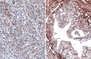 Anti-Glypican 1 antibody [N3C3] used in IHC (Paraffin sections) (IHC-P). GTX104557