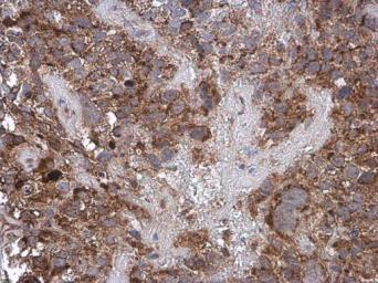 Anti-Cytochrome C antibody used in IHC (Paraffin sections) (IHC-P). GTX108585