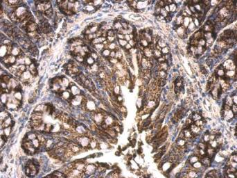 Anti-HSP60 antibody used in IHC (Paraffin sections) (IHC-P). GTX110089